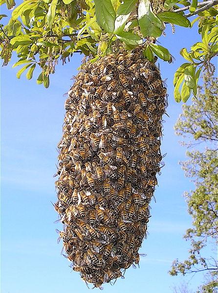 File:Bee Swarm.JPG