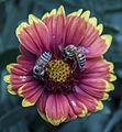 Bee flower031713-3a (8586465707).jpg