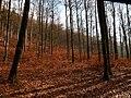Beech Trees Arround Me - panoramio.jpg