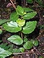 Begonia cubensis 2017-05-31 2336.jpg