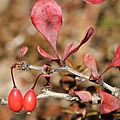 Berberis thunbergii (fruits s3).jpg