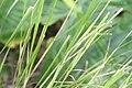 Beschorneria septentrionalis 1zz.jpg