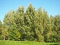Betula pendula 002.jpg