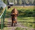 Białowieża Forest European bison 11112 2150.jpg