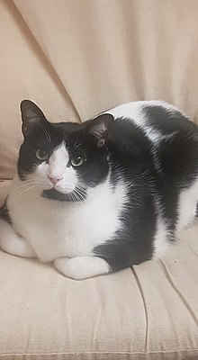 Bicolor Cat Wikipedia
