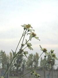 Bidensaurea