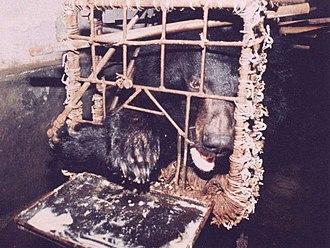 "Asian black bear - A bile bear in a ""crush cage"" on Huizhou Farm, China."