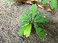 Biophytum sensitivum-little tree plant, life plant, മുക്കുറ്റി (mukkutti).jpg