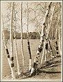 Birch trees at Spot Pond - DPLA - ef67b5734426030fa34d4fc198db2f74.jpg