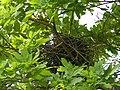 Bird Nest - Howrah 2011-03-19 1869.JPG