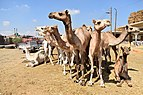 Birqash Camel Market in 2017, photo by Hatem Moushir 86.jpg