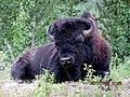 Bison .jpg