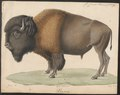 Bison americanus - 1700-1880 - Print - Iconographia Zoologica - Special Collections University of Amsterdam - UBA01 IZ21200229.tif