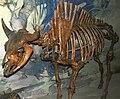 Bison antiquus taylori fossil buffalo.jpg