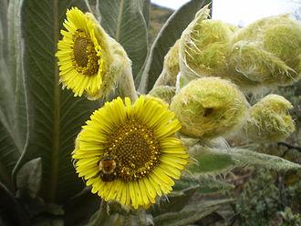 Espeletia - Espeletia grandiflora