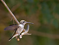 Black-Chinned Hummingbird (7819216372).jpg