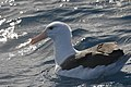Black-browed Albatross (35747981854).jpg
