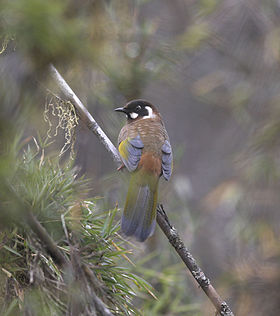 Black-faced Laughingthrush.jpg