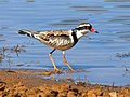 Black-fronted dotterel 9189.jpg