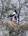 Black-necked Stork Ephippiorhynchus asiaticus by Dr. Raju Kasambe nest DSCN7259 (4).jpg
