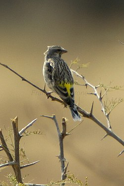 Black-throated Canary - Namibia 2498 (22418802703).jpg
