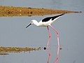 Black-winged stilt IMG 5087.jpg