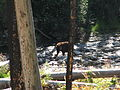 Black Bear on Big Creek.jpg