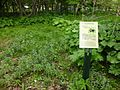 Black Lilies at Hokkaido University.JPG