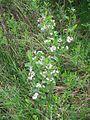 Black Moshannon SP Bog Flowers 3.jpg