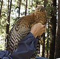 Black Sparrowhawk juvenile x.jpg