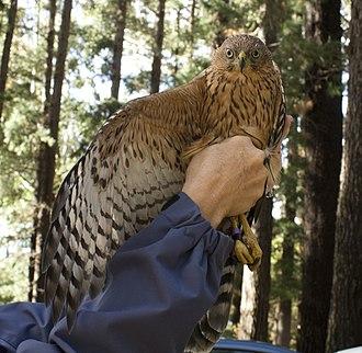 Black sparrowhawk - Subadult Black Sparrowhawk.