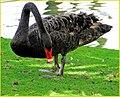 Black Swan, Palm Desert 2-22-14f (12794405075).jpg
