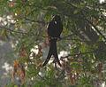 Black drongo kawadi.jpg