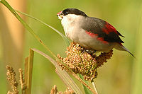 Blackcrownwaxbill