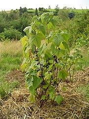 Blackcurrants shrub