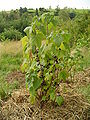 Blackcurrant 1.jpg