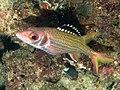 Blackfin squirrelfish (Neoniphon opercularis) (28799831667).jpg