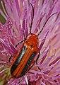 Blister Beetle - Nemognatha piazata, Okaloacoochee Slough State Forest, Felda, Florida.jpg