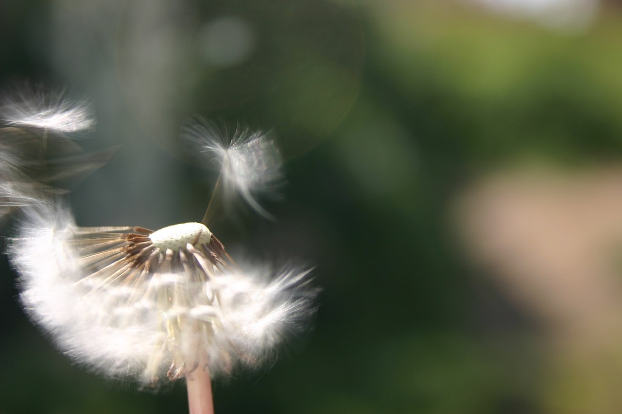 Blowing On A Dandelion (3562861685).jpg