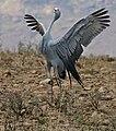Blue Crane (Anthropoides paradiseus) parading (32458639642).jpg