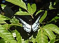 Blue Mormon Papilio polymnestor by Dr. Raju Kasambe DSCN4781 (11).jpg