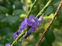 Blue Snakeweed (2095033321).jpg