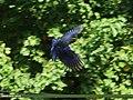 Blue Whistling Thrush (Myophonus caeruleus) (17642744050).jpg