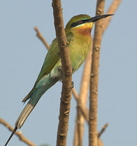 Blue tailed bee eater1.jpg
