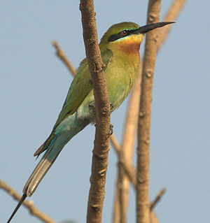 Blue-tailed bee-eater - Image: Blue tailed bee eater 1