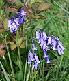 Bluebell - Hyacinthoides non-scriptus - geograph.org.uk - 162187.jpg
