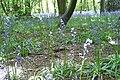 Bluebells - panoramio (4).jpg