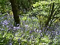Bluebells in the wood - panoramio.jpg