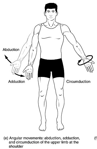 Anatomical terms of motion - Abduction and adduction