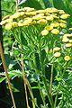 Boerenwormkruid.jpg